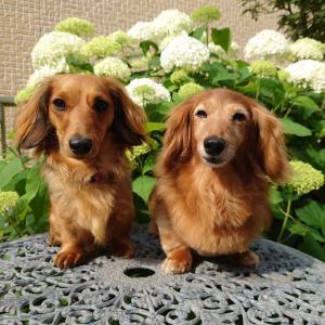 アナベルとどんぐりの花