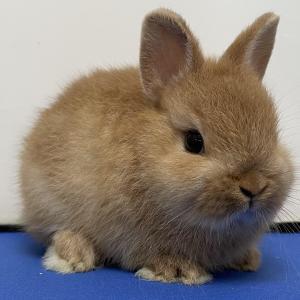 うさぎ専門店 うさうさラビトリー 仔ウサギ販売情報