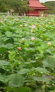 猿賀公園の蓮の花、御食事処もてなし、今週の予定(26~31日)