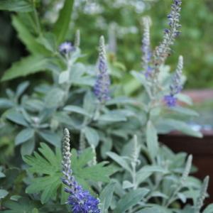 秋の青い花、白い花。