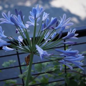 アガパンサスと紫陽花。