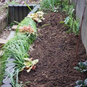 チューリップ花壇、今年も。