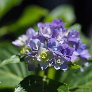 紫陽花と、チコリ。