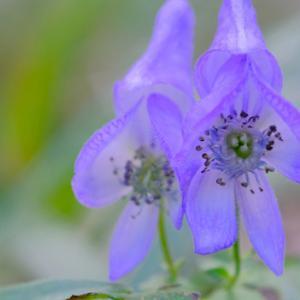 トリカブトに蜂も来る:泉自然公園