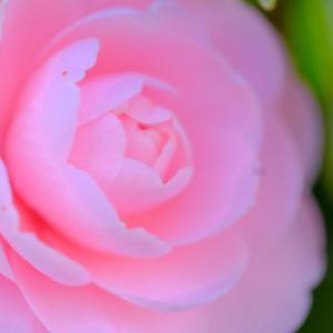 ヒマラヤユキノシタ、咲く