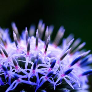 開花が進むヒゴタイ