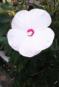 昨日の蕾が開花
