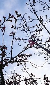開花宣言の日に雪降った!