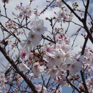 とりあえず熊本の満開の桜を!