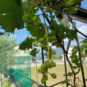 庭のぶどうの樹に実がつき始めました!
