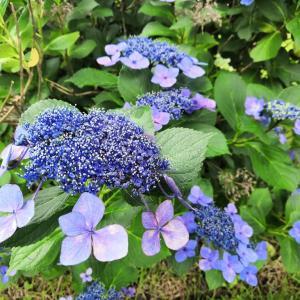 散歩道も紫陽花の季節!