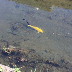 黄金色の鯉