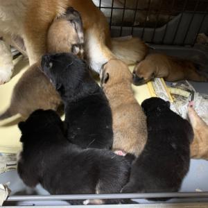豆柴と秋田犬の子犬生まれています