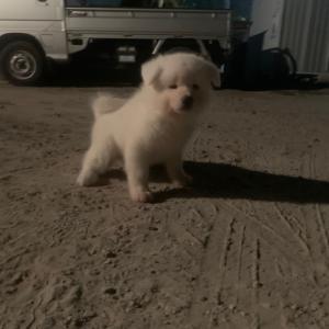 秋田犬白毛の男の子