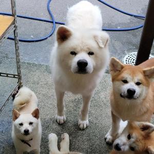 秋田犬の仔犬たち
