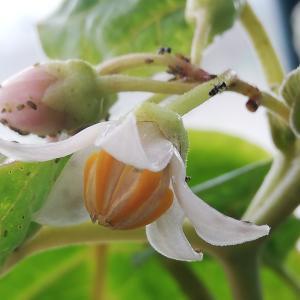 タマリロ開花