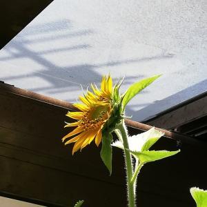 餌ひまわり開花