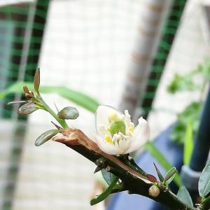 フィンガーライム開花1個だけ^^;