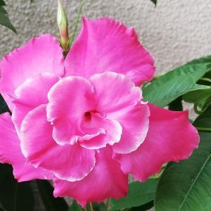 雨の中ですが開花した花たち 25日