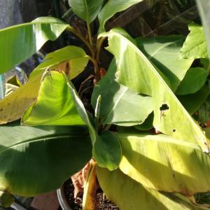 庭の植物(ミニバナナほか)