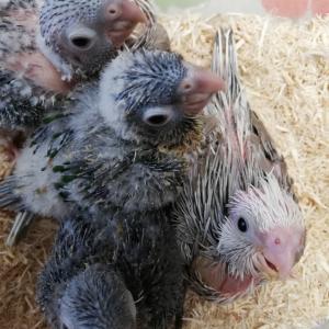 雛たち 3種