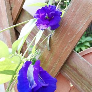 バタフライピー八重開花