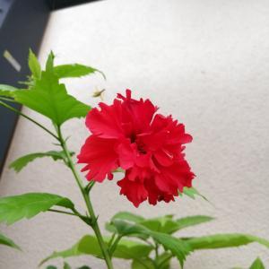 雨の中咲く花たちとガパオライス