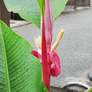 成長が早いバナナ