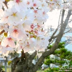 実家の桜とアルバイトの思い出