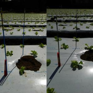 写真で見る成長の違いー土壌硬度の違いによる成長の違い