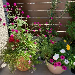 【ガーデニング】真夏を乗り越えた花達