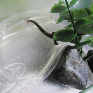 隠れるマダラチビイモリ