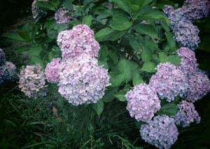 途中に紫陽花が咲いていたので、カメラでぱしゃりと一枚撮りました