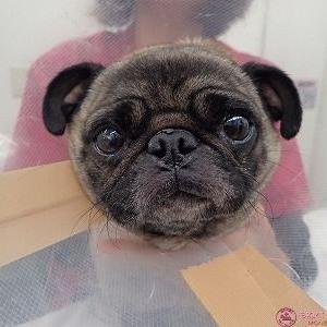 犬の口唇切除 (その2 パグ・肥満細胞腫)