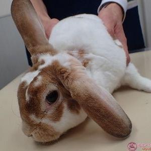 ウサギの耳血腫