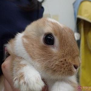 ウサギの橈尺骨骨折(外固定法)