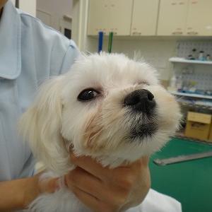 アーカイブシリーズ 犬の異物誤飲(化粧用パフ)