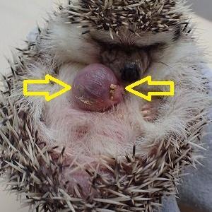 ヨツユビハリネズミの線維肉腫