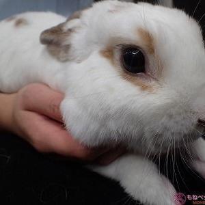 半導体レーザーによるウサギの足底皮膚炎(ソアホック)治療