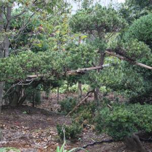 キャラボク 伽羅木 キャラノキ 希少品 販売 画像 写真 価格 値段 庭木 安行 植木 主木 お問合せ商品