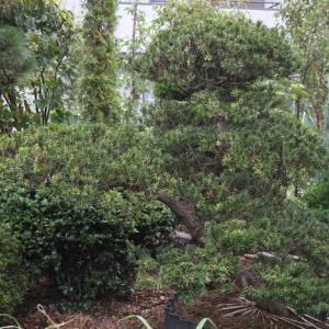 キャラボク 伽羅木 キャラノキ 雌木 希少品 販売 画像 写真 価格 値段 庭木 安行 植木 お問合せ商品
