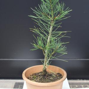 白松 シロマツ ハクショウ #三鈷の松 三葉の松 販売 価格 値段 画像 写真 庭木 植木 お問合せ商品