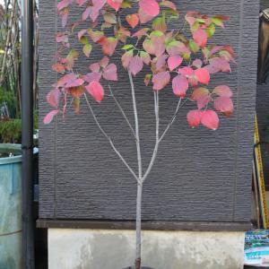 アメリカハナミズキ  赤花 ハナミズキ 花水木 販売 画像 写真 価格 値段 庭木 安行 植木 お問合せ商品