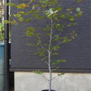 紫 ヨーロッパブナ パープレア プルプレア 販売 価格 値段 画像 写真 庭木 安行 植木 お問合せ商品