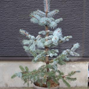 プンゲンストウヒ・ホプシー 販売 画像 写真 値段 価格 庭木 安行 植木 #クリスマスツリー #ホプシー