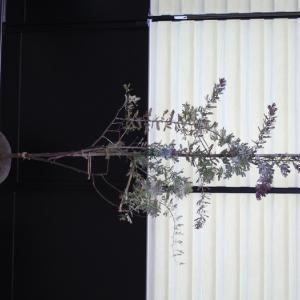 ミモザ アカシア プルプレア パープレア 販売 画像 写真 価格 値段 庭木 安行 植木 お問合せ商品