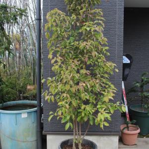 常緑ヤマボウシ ホンコンエンシス 6本株立ち 販売 価格 値段 画像 写真 庭木 安行 植木 シンボルツリー