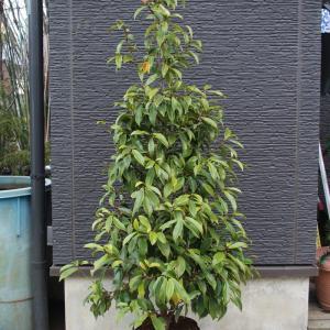 カラタネオガタマ パープルクイーン 美樹形 希少 販売 画像 写真 価格 値段 庭木 安行 植木 シンボルツリー