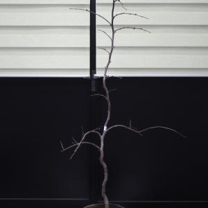 アメリカハナズオウ トラベラー 枝垂れ 新樹種 販売 画像 写真 価格 値段 庭木 安行 植木 お問い合わせ商品