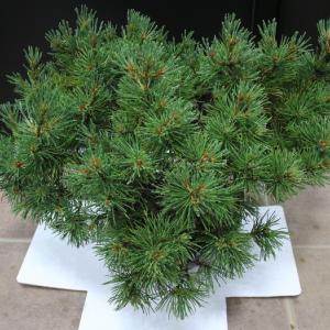 モンタナマツ モンタナ這松 Pinus mugo 販売 画像 写真 価格 値段 植木 お問い合わせ商品 #モンタナマツ
